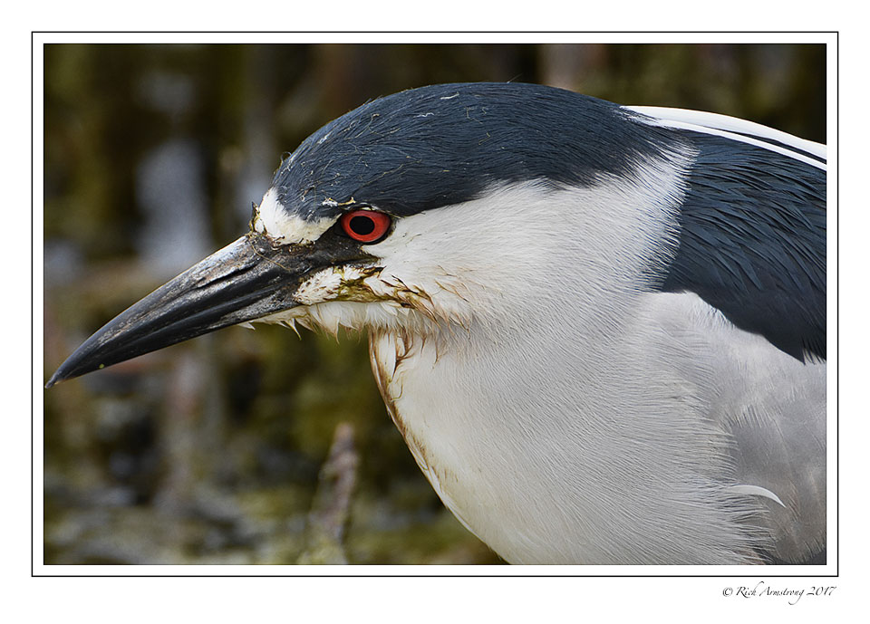 Black-crowned-Night-Heron-5-copy.jpg