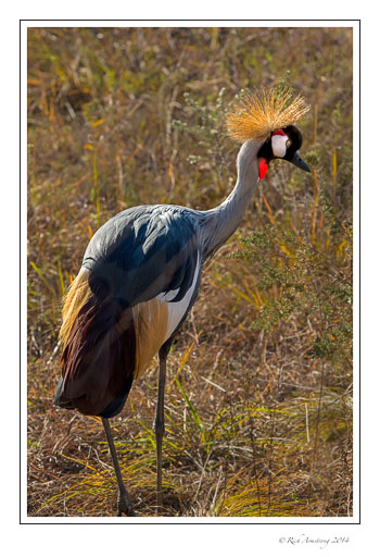 Gray-crowned-crane-3_.jpg