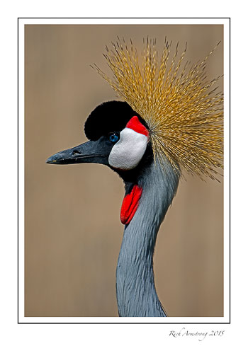 Grey-Crowned-Crane-1-frm.jpg