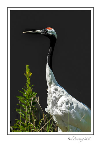 Red-crowned-crane-1-frm.jpg