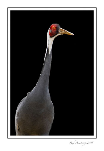 White-naped-crane-frm.jpg