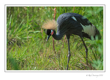black-crowned-crane-6-frm.jpg