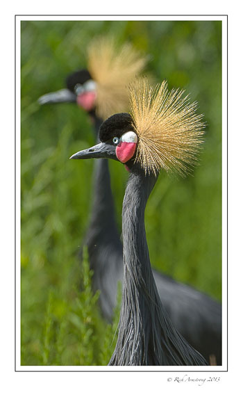 black-crowned-cranes-5-frm.jpg