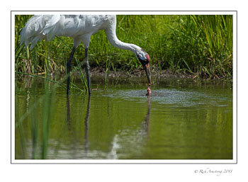 whooping-crane-with-bird-2-frm.jpg