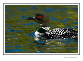 loon-close-up-frm.jpg