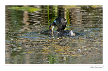 pied-billed-grebe-with-frog-copy.jpg