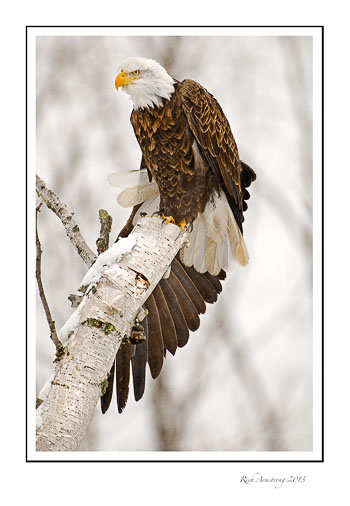 eagle-with-wing-stretch-frm.jpg