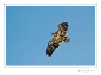 immature-eagle-with-fish-frm.jpg