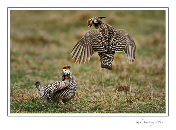 male-chickens-fighting4frm.jpg