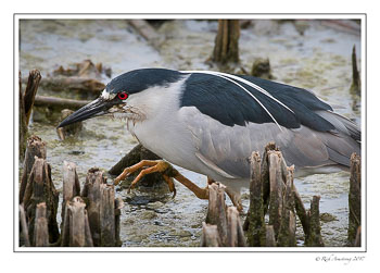 Black-crowned-Night-Heron-1-copy.jpg