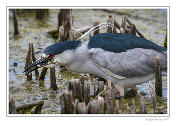 Black-crowned-Night-Heron-2-copy.jpg