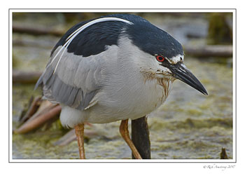 Black-crowned-Night-Heron-7-copy.jpg