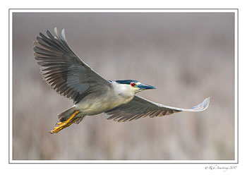 Black-crowned-night-heron-1-copy-2.jpg