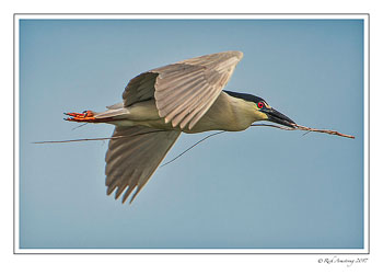 Black-crowned-night-heron-2-copy-2.jpg