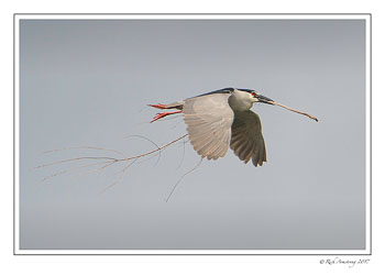 Black-crowned-night-heron-5-copy-3.jpg