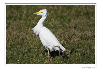 Cattle-egret-1-copy.jpg