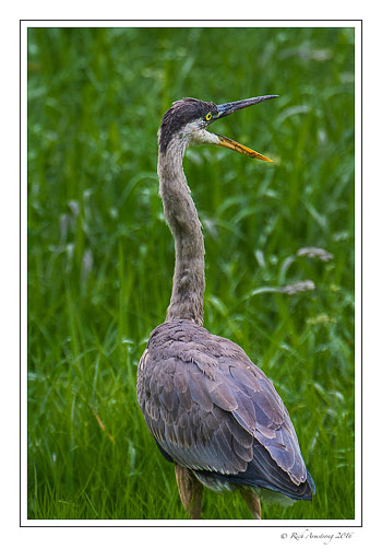 Great-blue-heron-1-copy-copy.jpg