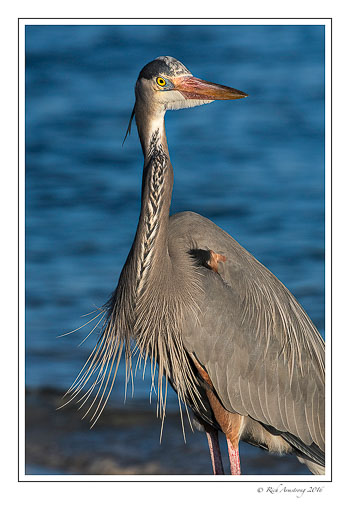 Great-blue-heron-1-copy.jpg