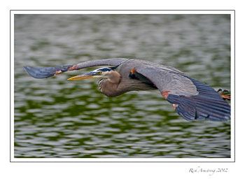 Great-blue-heron-2-frm.jpg