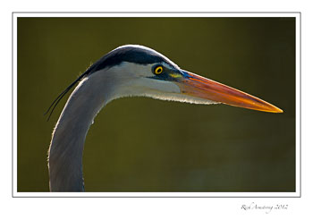 Great-blue-heron-3-frm.jpg