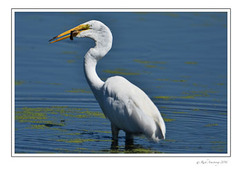 Great-egret-w-fish-2-w.jpg