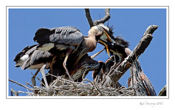 Heron-Chicks-14-frm.jpg