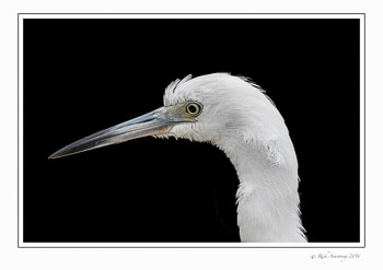 Little-blue-heron-1-copy.jpg
