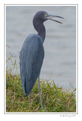 Little-blue-heron-4-copy.jpg
