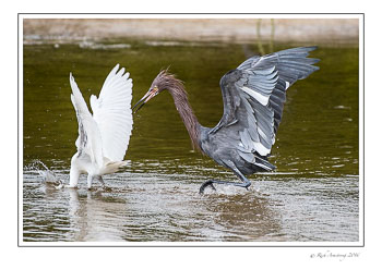 Reddish-egret-3-copy.jpg