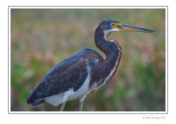 Tri-colored-heron-1-copy.jpg