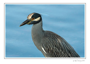Yellow-crowned-night-heron-2-copy.jpg