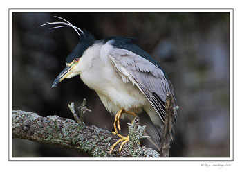 black-crowned-night-heron-1-copy-3.jpg