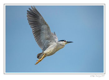 black-crowned-night-heron-4.jpg
