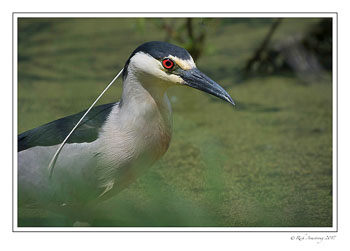 black-crowned-night-heron-5-copy-2.jpg