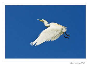 cattle-egret-flight.jpg