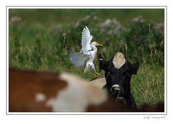 cattle-egret-landing-copy.jpg