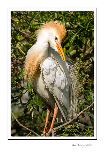 cattle-egret_.jpg