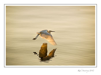 egret-in-flight-frm.jpg