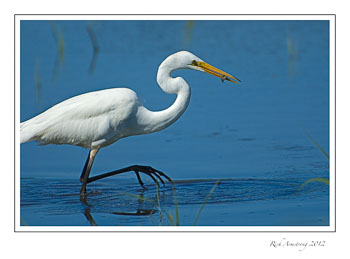 egret-with-minnow.jpg