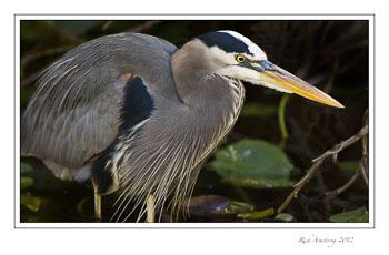 great-blue-heron-1c-frm_.jpg