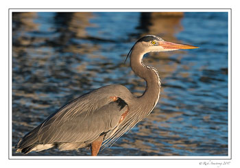 great-blue-heron-5-copy.jpg