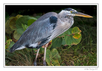 great-blue-heron-6-copy.jpg