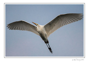 great-egret-1-copy-2.jpg