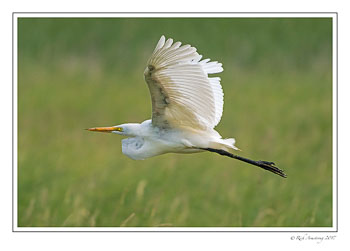 great-egret-1-copy-3.jpg