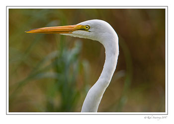 great-egret-1-copy-4.jpg