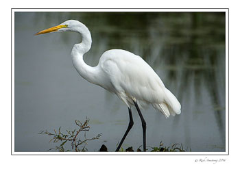 great-egret-1-copy.jpg