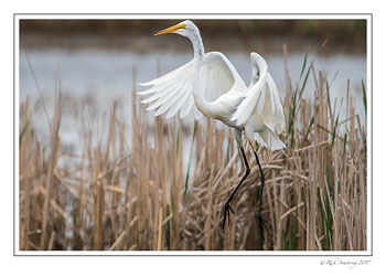 great-egret-5-copy.jpg
