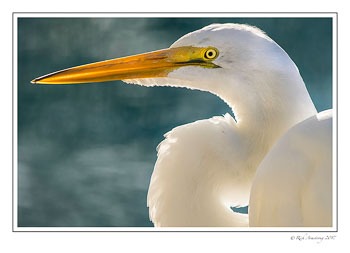 great-egret-7-copy.jpg
