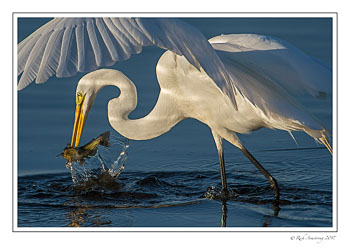 great-egret-with-fish-1-copy.jpg