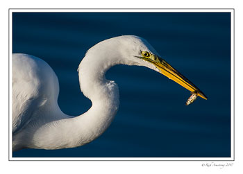 great-egret-with-fish-2-copy.jpg